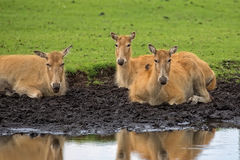 Pere David`s deer female resting near the river Royalty Free Stock Image