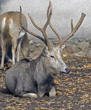 Pere David`s deer 6 Royalty Free Stock Photography