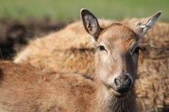 Pere David's deer Royalty Free Stock Images