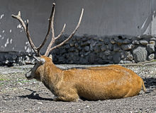 Pere David`s deer male 1 Stock Photography