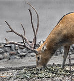 Pere David`s deer male 2 Stock Photography