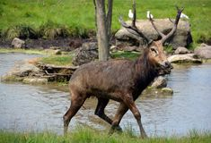 Pere David`s deer. Also known as the milu or elaphure, is a species of deer that is currently extinct in the wild all known specimens are found only in stock images