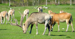 Pere David's deers Stock Image
