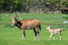 Pere David's deers Stock Photo