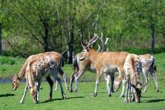Pere David's deers Stock Image