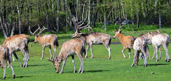 Pere David's deers Stock Photography