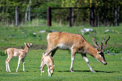 Pere David's deers Stock Photos