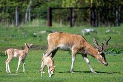 Pere David's deers Stock Photos