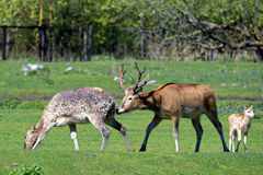 Pere David's deers Royalty Free Stock Photos