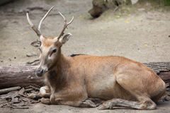 Pere David ` s Elaphurus jeleni davidianus Obrazy Royalty Free