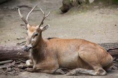 Pere David ` s Elaphurus jeleni davidianus Zdjęcia Royalty Free