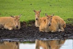 Pere David ` s jeleni żeński odpoczywać blisko rzeki Obraz Royalty Free