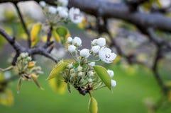 Pere di fioritura su un fondo vago Fotografia Stock