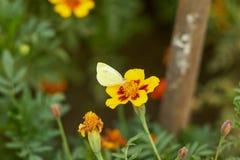Perełkowy motyl Zdjęcia Royalty Free
