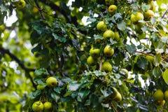 Pere mature che appendono sull'albero verde in frutteto immagini stock libere da diritti