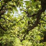 Pere mature in frutteto Fotografia Stock