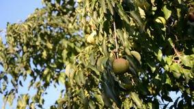 Pere mature riunite nel giardino della frutta stock footage