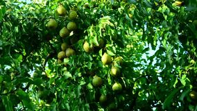 Pere mature riunite nel giardino della frutta archivi video