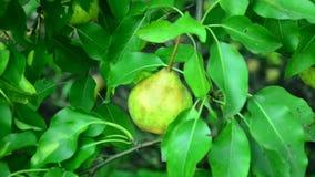 Pere mature riunite nel giardino della frutta video d archivio