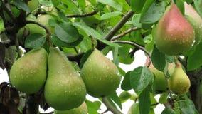 Pere non mature su un ramo coperto di gocce di pioggia fotografie stock libere da diritti