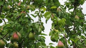 Pere non mature su un ramo coperto di gocce di pioggia immagine stock