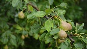 Pere non mature sull'albero da frutto dopo il rainon un'azienda agricola rurale Il concetto di una dieta sana stock footage