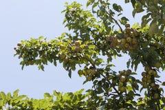 Pere organiche mature della cultivar della pera nella foto del giardino di estate Immagini Stock Libere da Diritti