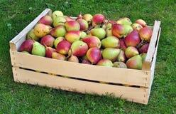 Pere - rendimento agricolo della frutta immagine stock libera da diritti