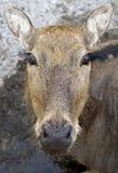 pere s 8 оленей Давида Стоковое Изображение RF
