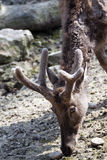 pere s elaphurus оленей davidianus Давида Стоковая Фотография RF