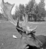 pere s elaphurus оленей davidianus Давида латинское названное Стоковое Фото
