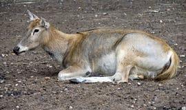 pere s för 5 david hjortar Royaltyfri Bild