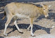 pere s för 9 david hjortar Arkivfoto