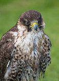 Pere Saker Falcon Royalty Free Stock Images