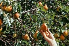 Pere Selezionamento della pera su un albero nel giardino Un giardino con il raccolto della pera Frutta fresca Fotografia Stock