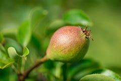 Pere su un primo piano del ramo di albero in frutteto Immagine Stock