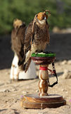 Peregine falcon Royalty Free Stock Photo