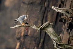 Free Peregine Falcon Eating On A Perch Stock Photos - 165345703