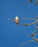 Peregrin Falcon Royalty Free Stock Photos