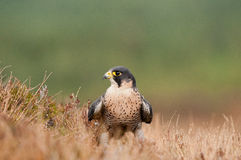 Peregrin Falcon Stock Image