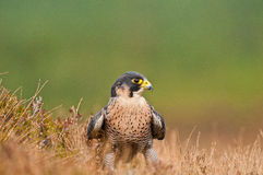 Peregrin Falcon Royalty Free Stock Image
