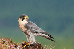 Peregrin Falcon stock images
