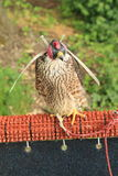 Peregrin falcon Royalty Free Stock Photography