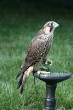 Peregrin  Falcon on perch with wings open Royalty Free Stock Image