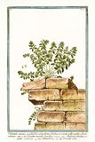 Peregrina марены quadrifolia annua Valentia Стоковое Изображение RF