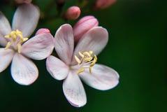 Peregrina Foto de Stock Royalty Free