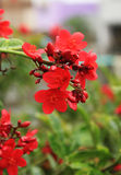Peregrina-Blumen - Jatropha integerrima Stockfoto