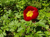 Peregrina de Paeonia - pivoine sauvage Photographie stock