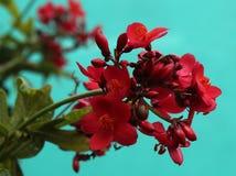 Peregrinabloemen - Jatropha-integerrima Royalty-vrije Stock Afbeeldingen
