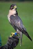 Peregrine Royalty Free Stock Images